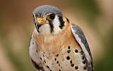 American Kestrel by tweir, photography->birds gallery