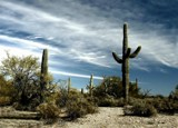 The Gathering Saguaros by snapshooter87, photography->landscape gallery