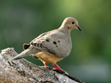 A dove by egggray, Photography->Birds gallery