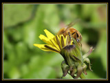 Busy Bee by photoimagery, Photography->Action or Motion gallery