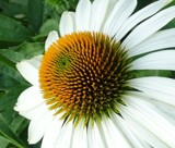 A Daisy for Friday by Starglow, photography->flowers gallery