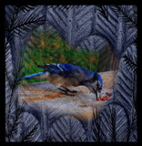 Bluejay Blend by mesmerized, photography->manipulation gallery