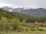 Rocky Mountain Elk by jeremy_depew, Photography->Mountains gallery