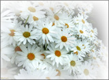 Hazy Daisies by LynEve, photography->flowers gallery
