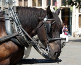 Carriage Horse by lindala, Photography->Animals gallery
