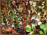 Manzanita Peeling by Flmngseabass, Photography->Nature gallery