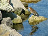 Dockside Green Back by allisontaylor, Photography->Birds gallery