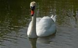 Mute Swan by gonedigital, photography->birds gallery