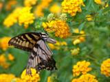One Last Sip RWK by JEdMc91, Photography->Butterflies gallery