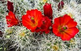 Cactus Glory by nmsmith, photography->flowers gallery