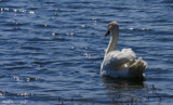 A Swan On Center Lake by tigger3, photography->birds gallery