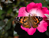 Painted Lady and the Rose by Pistos, photography->butterflies gallery