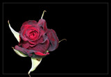 A Black Rose by slushie, photography->flowers gallery