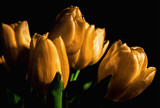 Some Tulips by cynlee, photography->flowers gallery