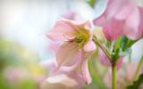 Hellebore - Pink by Pixleslie, Photography->Flowers gallery