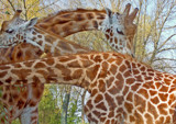 Chester Zoo's Experimental Giraffe by braces, Photography->Animals gallery