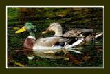 Mallard 3 by gerryp, Photography->Birds gallery