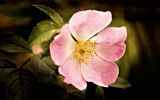 Lomo flower by Blabarspaj, Photography->Manipulation gallery