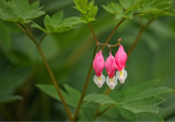 Bleeding Hearts by Jimbobedsel, photography->flowers gallery
