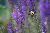 Bumblebee Salvia by MustangGirl95, photography->flowers gallery
