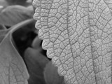 B&W Leaf by jdinvictoria, Photography->Macro gallery