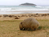 Beach Wombat II by meteor, Photography->Animals gallery