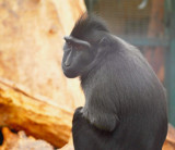 Pensive Monkey by braces, Photography->Animals gallery