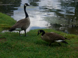 Geese at the fish farm by bcbird, Photography->Birds gallery