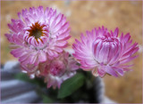 Pink Posies in my Pocket by cynlee, photography->flowers gallery