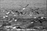 Just In Flight In B&W by corngrowth, contests->b/w challenge gallery