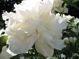 Bright White Peony by lythrum, Photography->Flowers gallery