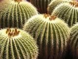 Golden Barrel Cactus by ninjatabby, Photography->Nature gallery