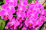 F² Orchids 9 by corngrowth, photography->flowers gallery