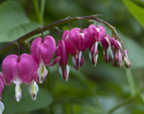 Bleeding Hearts by auroraobers, photography->flowers gallery