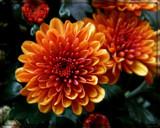 Cranberry Orange Mum by trixxie17, photography->flowers gallery