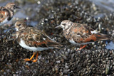 Dunlins by Paul_Gerritsen, Photography->Birds gallery