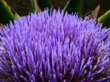 Artichoke by Paul_Gerritsen, Photography->Flowers gallery
