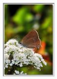 cds 35 by ferit, Photography->Butterflies gallery