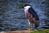 Black crowned Night Heron by jeenie11, photography->birds gallery