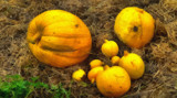 Painted Pumpkins by LynEve, photography->manipulation gallery