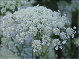 Queen Anne's Lace by sharonva, Photography->Flowers gallery