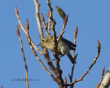 Kinglet by garrettparkinson, photography->birds gallery