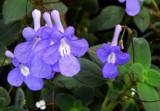 Streptocarpus by trixxie17, photography->flowers gallery