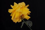 Yellow rose on my desk by elektronist, photography->macro gallery