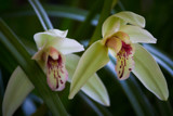 Twin Orchids by Pistos, photography->flowers gallery