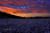 Cotton Field at Sunset by Mvillian, photography->sunset/rise gallery