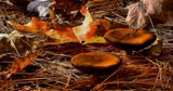 Oak Leaves and Pies by snapshooter87, photography->mushrooms gallery