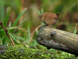 Wallington Wren... by biffobear, photography->birds gallery
