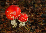 Amanita muscaria by LynEve, photography->mushrooms gallery