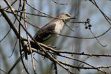 Mockingbird by allisontaylor, Photography->Birds gallery